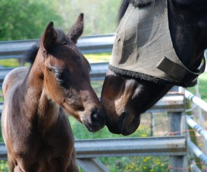 Filly out of Honor Student visiting with her neighbor Little Fox (an OTTB)